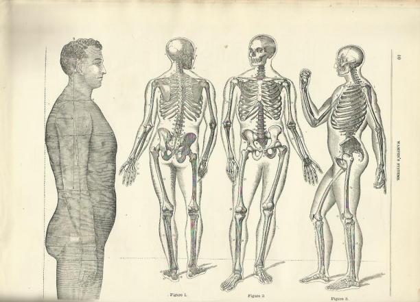 Anatomie van de man