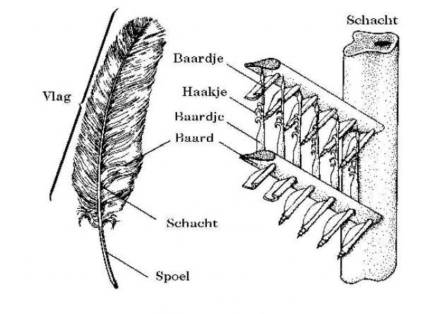 Afb. 4 Opbouw van een vogelveer. Bron: Marsicht.com.